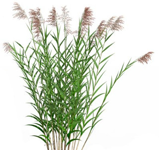 how reed grass looks in the nature